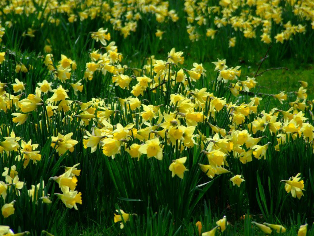 Blog-3---Daffodils