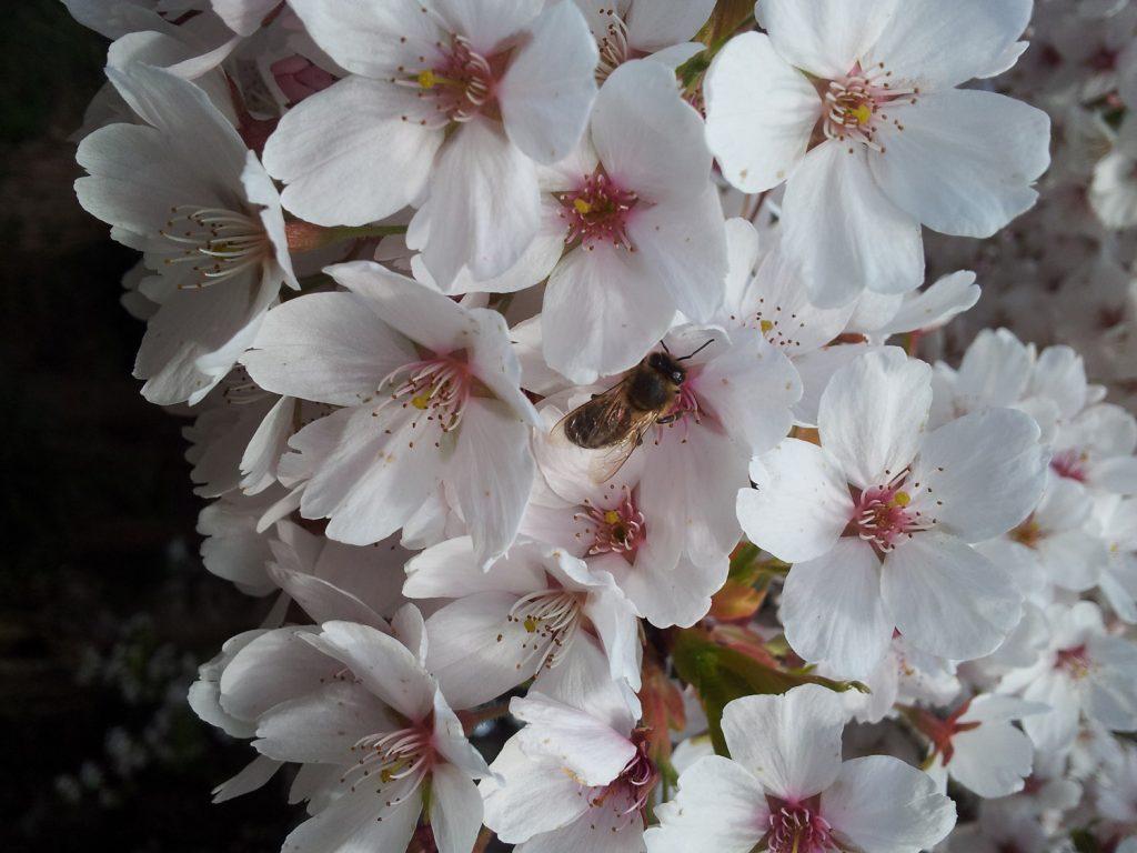 Garden-Tips-2---Prunus-x-yedoensis