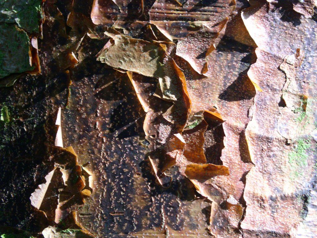 Garden-Tips-2---Acer-griseum
