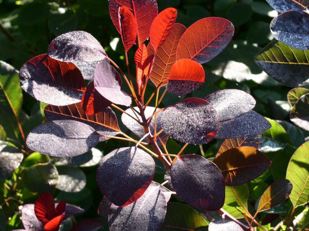 Garden-Tips-3---Cotinus