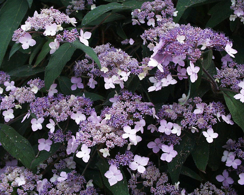Garden-Tips-3---Hydrangea-aspera-Villosa-Gp