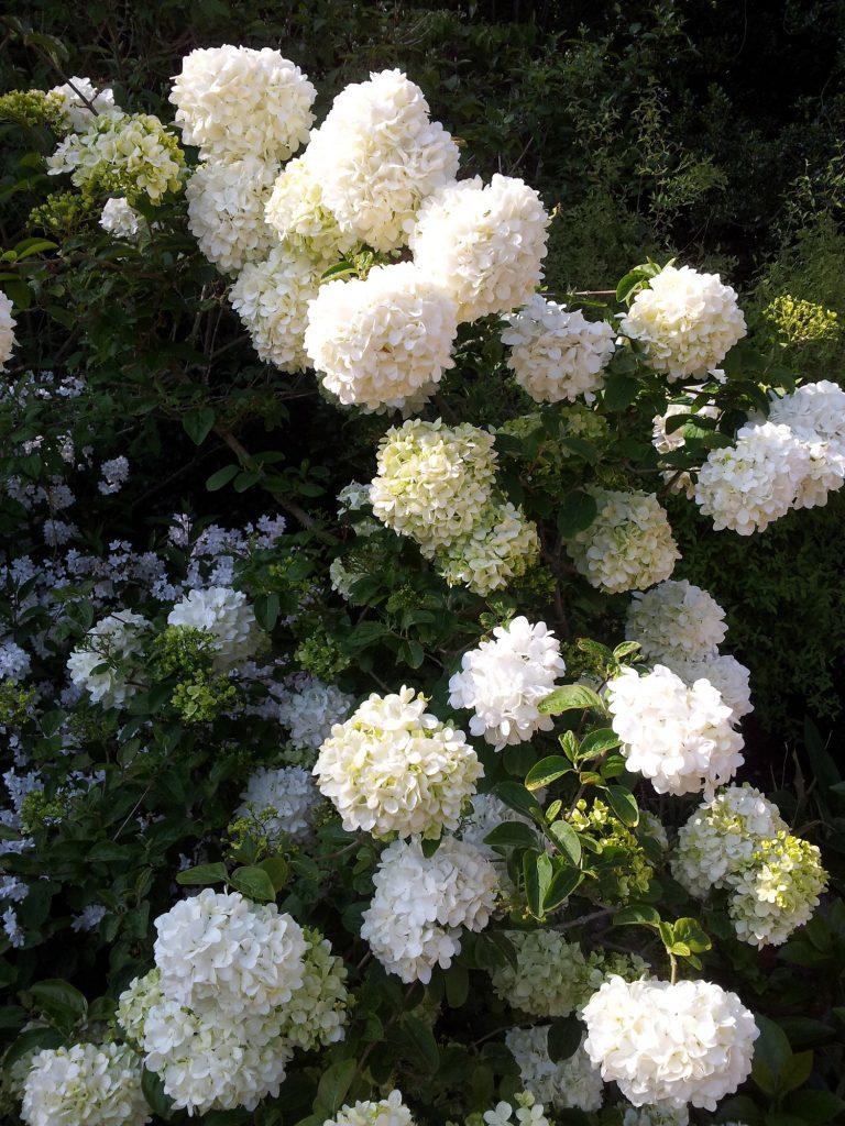 Garden-Tips-3---Viburnum-macrocephalum